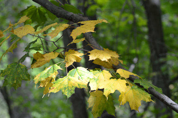 Early Yellow Leaves