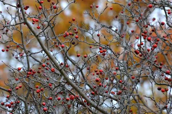 Fall Crabapple