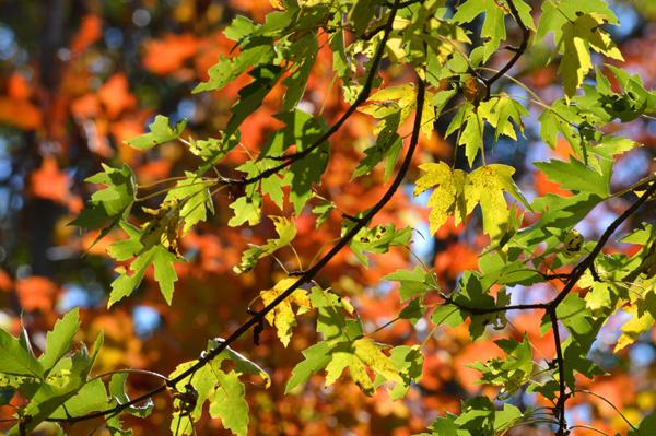 Maple Yellow and Orange