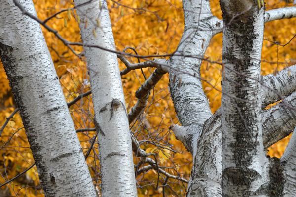 Bold Birch