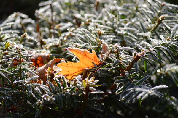 Frosty Yew
