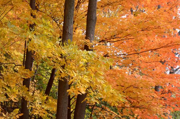 Maple and Walnut