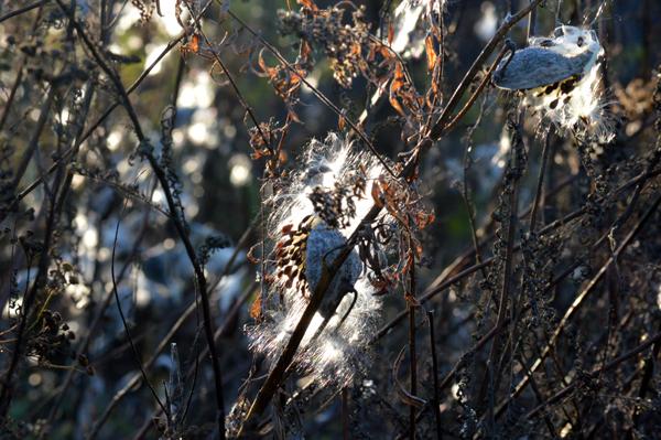 November Milkweed