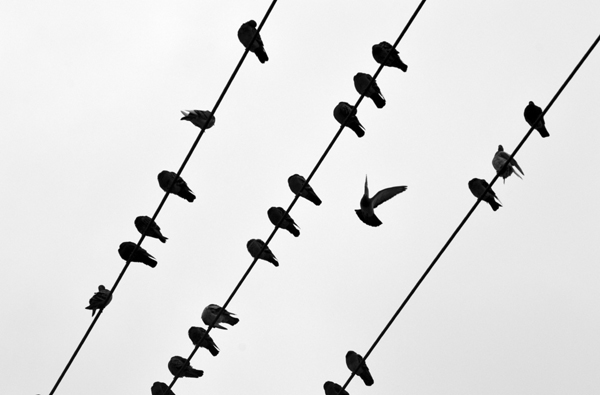 Pigeons on Wires