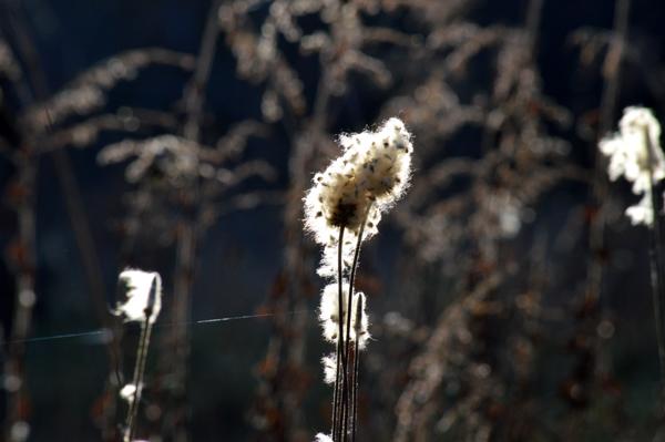 Shining Seed Head