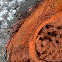 Cherry Wood Rot
