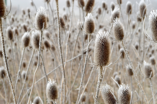 Frosted Teasels