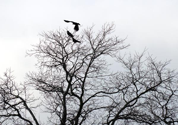 Three Crows