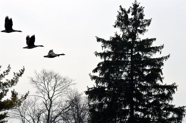 Three Geese in Flight