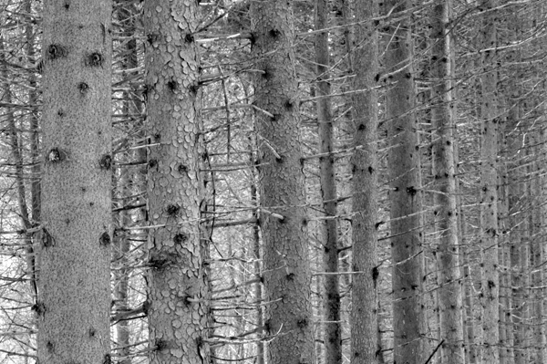 Tamarack Trunks