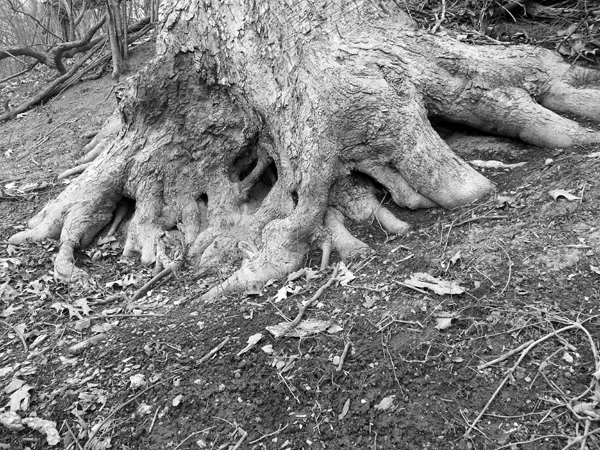 Big Beech on the Hill