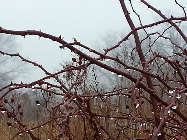 March Wild Rose