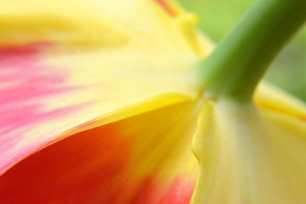 Yellow Tulip Abstract