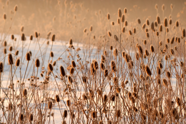 Morning sun on teasels