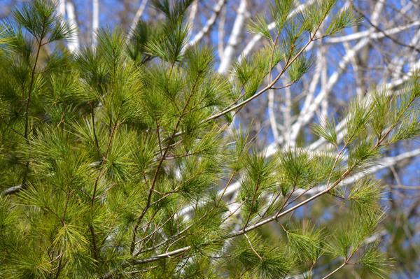 White Pine and Birch