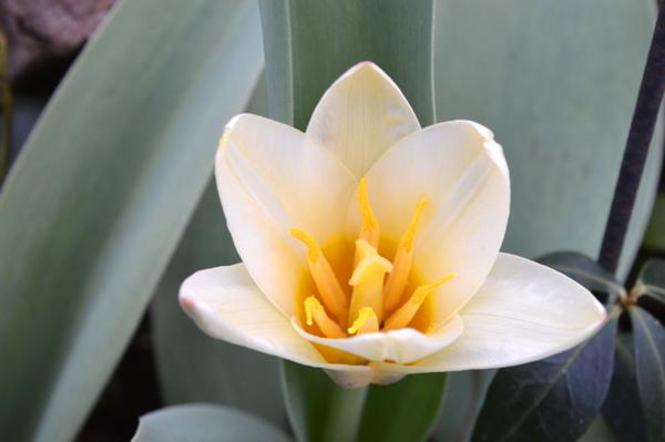 White Yellow Tulips