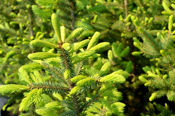 Baby White Spruce