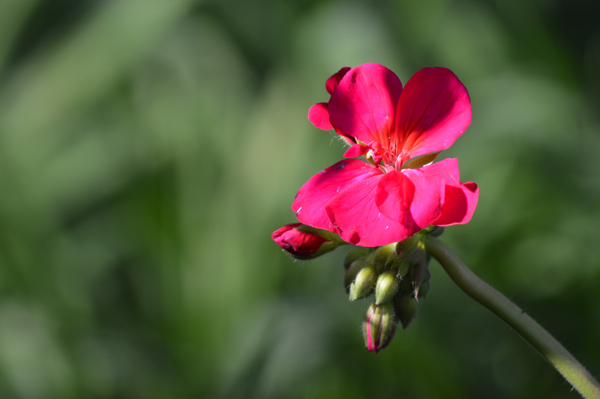 Single Geranium Bloom