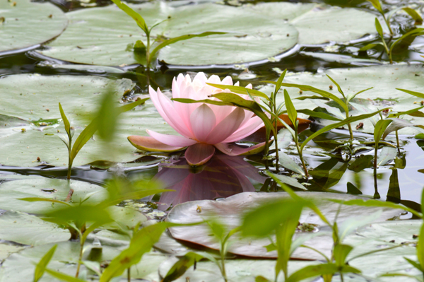 Pink Pond Lily