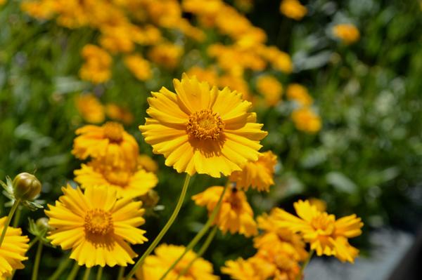 Sunny Coreopsis