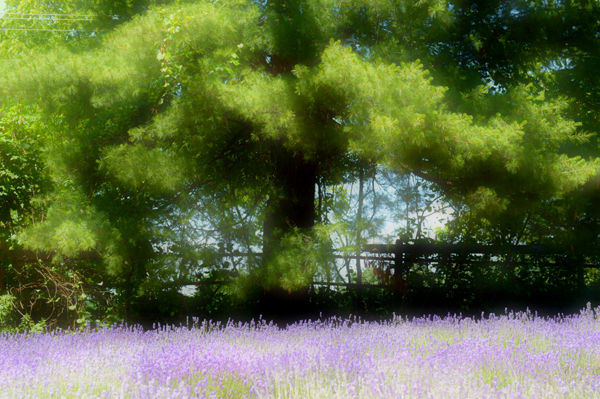 White Pine and Lavender