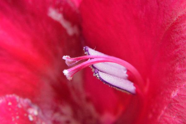 Gladiolus Macro II