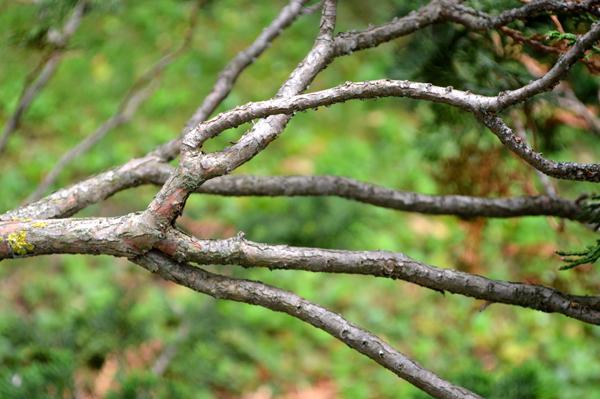 Hinoki Branches