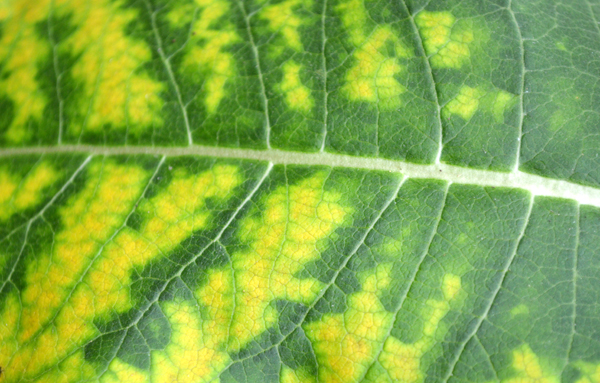 Milkweed Leaf