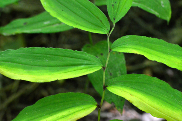 Light and Dark Leaves
