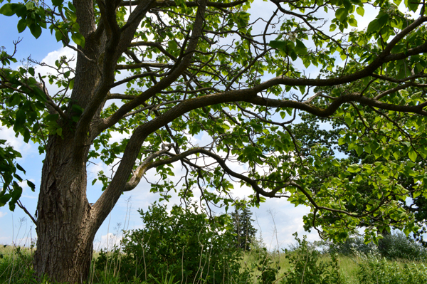 Catalpa Branches