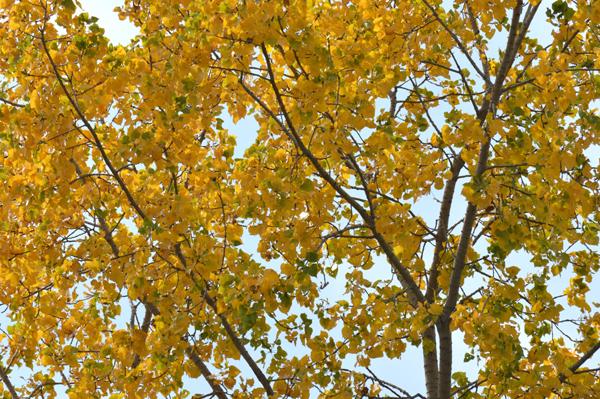 Cottonwood Yellow