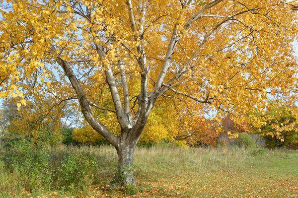 Gold Birch