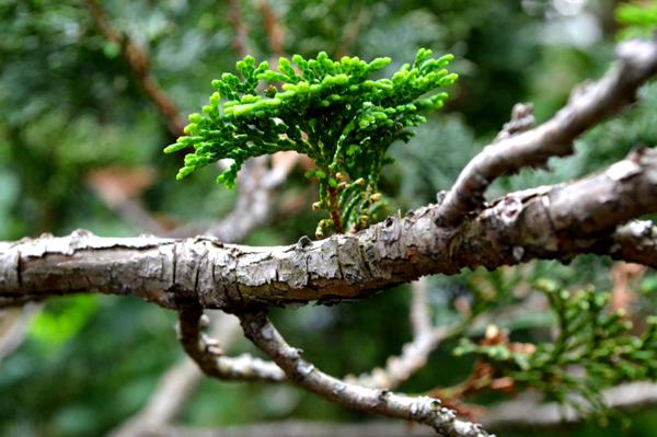Hinoki Branch II