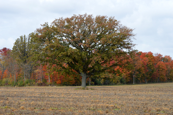 Oak in the Fall Field