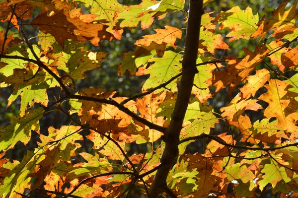 Fall Oak Glow