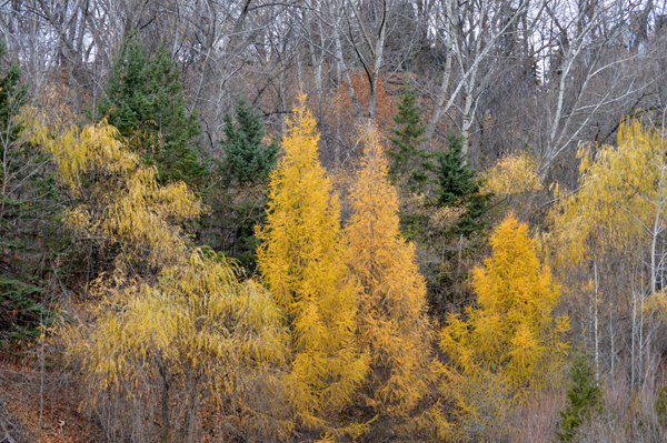 Late Fall Yellows