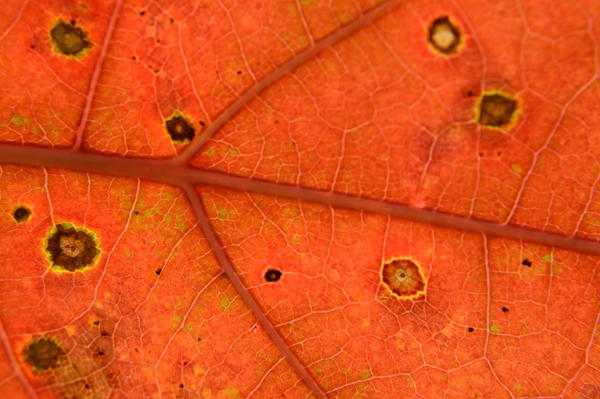 Orange Leaf Macro
