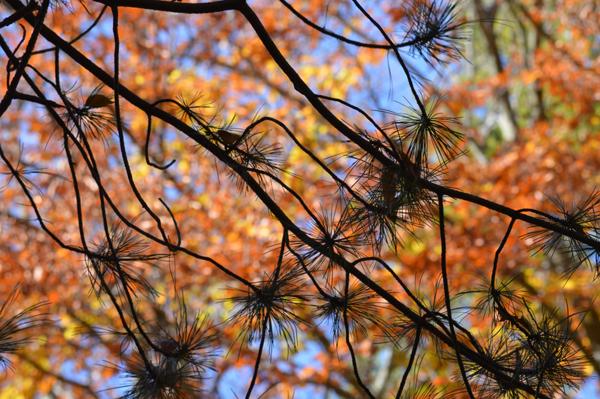 Pine Against Fall