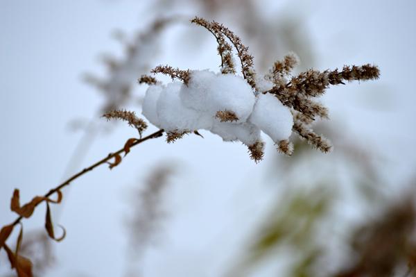 Snowy Goldenrod