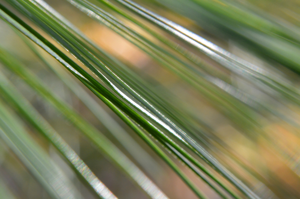 White Pine Abstract II