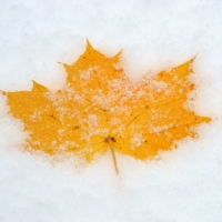Leaf in the Snow