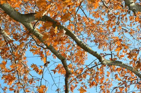 Reaching Oak