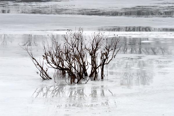 Buttonbush in the Pond