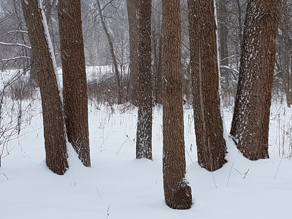 Snowy Trunks