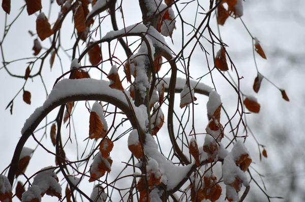 Snowy Weeping Beech