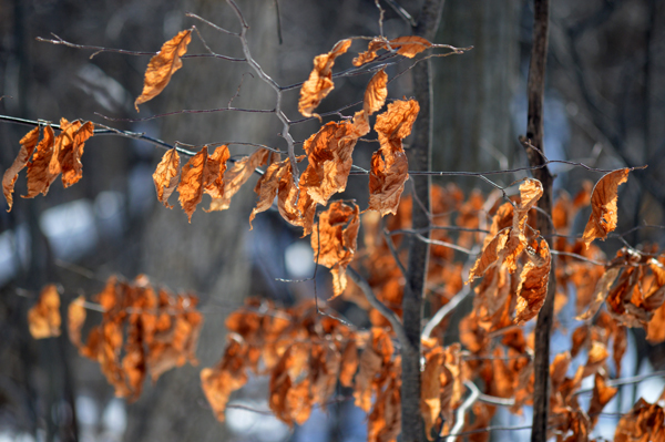 Winter Beech Leaves
