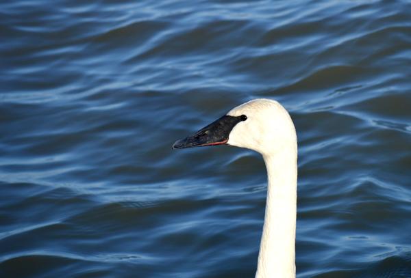 Single Swan
