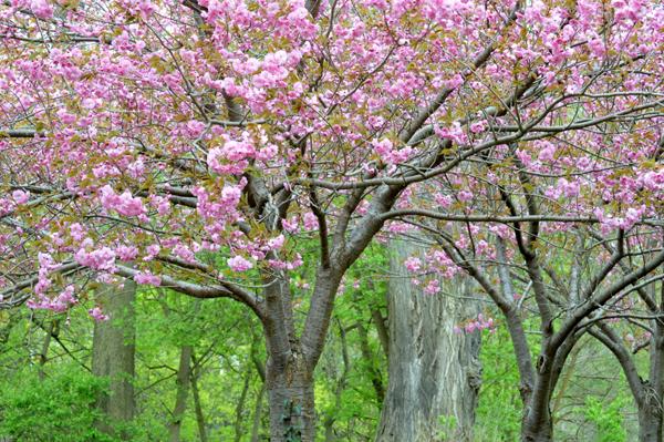Flowering Almond Charm