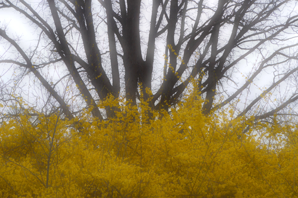 Forsythia and Oak