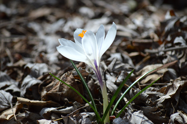 Light Crocus
